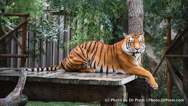 Care For Some  Tea Time With Tigers?
