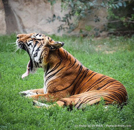 Chronicles Of The Tired Tiger