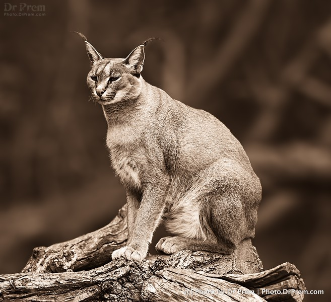 The Lonely Lynx