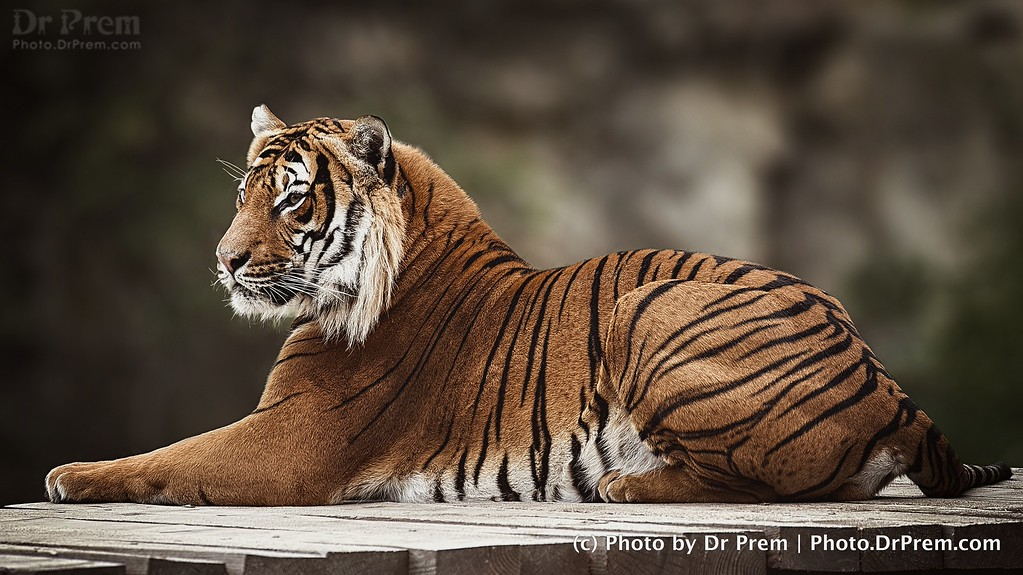 The Thoughtful Tiger