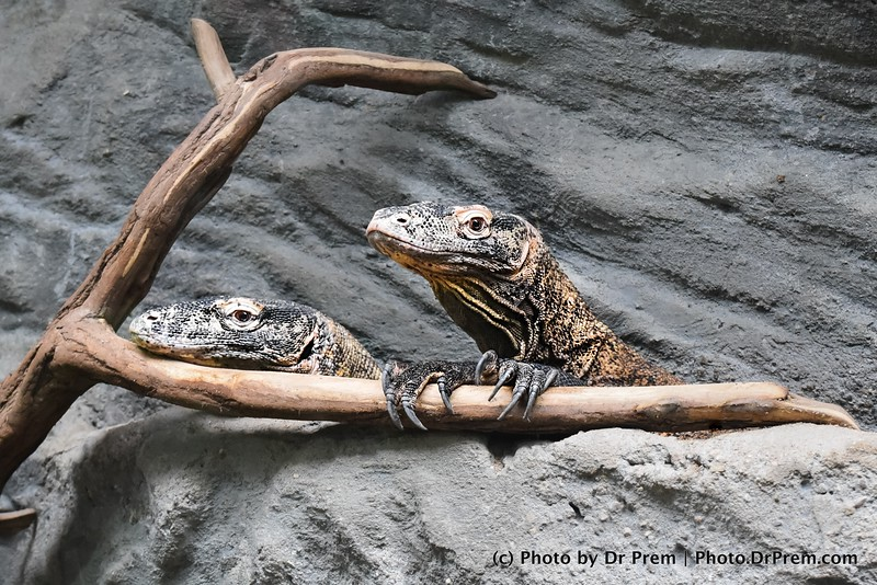 The Curious Case Of The Iguana Pair