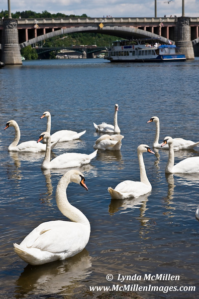 Swans a swimming.