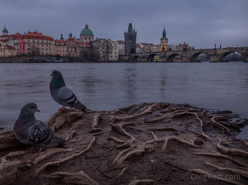 Pigeons in Prague