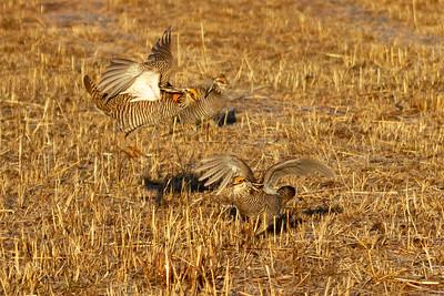 wildlife, Prairie Chickens-4701