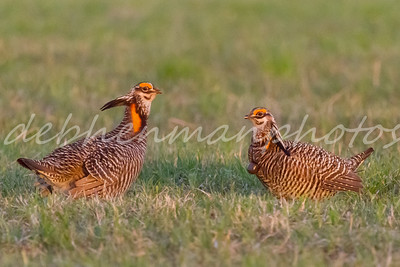 Male Prairie Chickens in Illinois with Radio Collars and Leg Bands