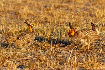 wildlife, Prairie Chickens-4622