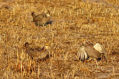 Prairie Chicken male posture 1-4703
