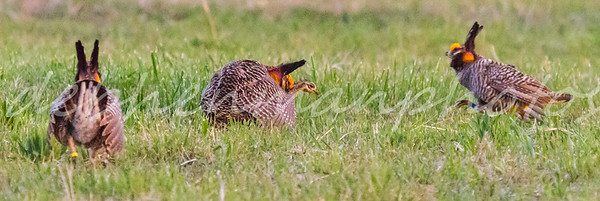 10 Prairie Chickens Mating Trouble Coming