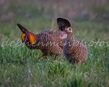 2 Female Prairie Chicken Interested