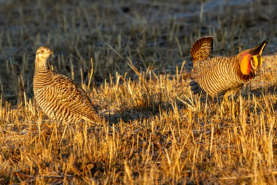 Female and Male Courting