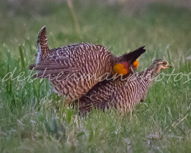 4 Prairie Chickens Mating