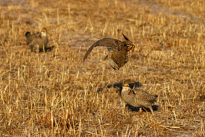 Prairie Chicken male posture 1-4697