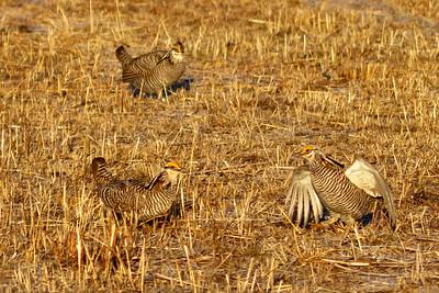 wildlife, Prairie Chickens-4703