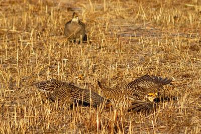 Prairie Chicken male posture 1-4695