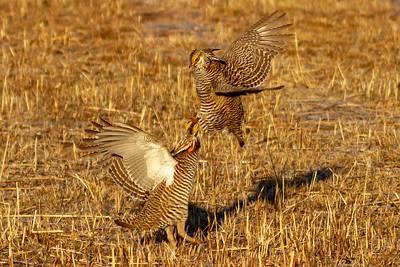 Prairie Chicken male posture 1-4694