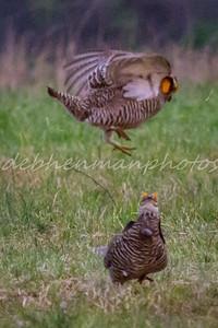 15 Prairie Chicken Fights