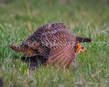 7 Prairie Chickens Mating