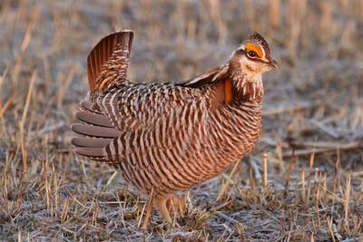 wildlife, Prairie Chickens-4428