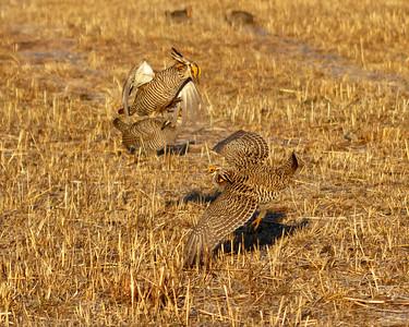 Prairie Chicken male posture 1-4700