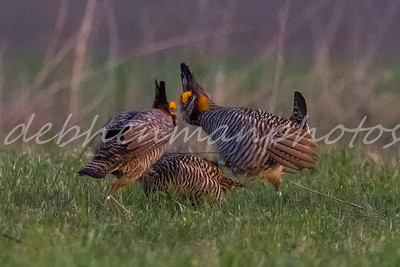2 Competition of Male Prairie Chickens over Female