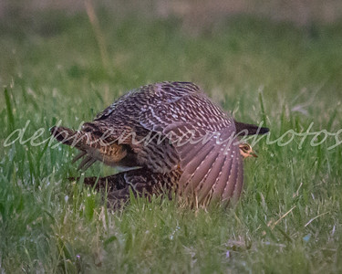 6 Prairie Chickens Mating