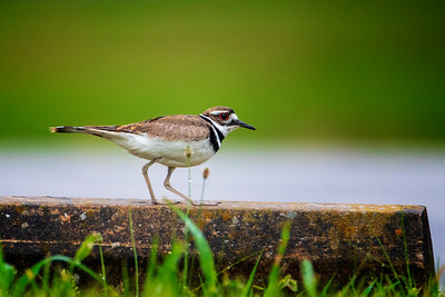6.17.19 - Prairie Creek Marina: Father Killdeer watching me closely.