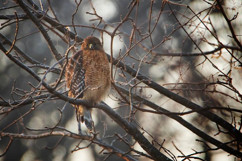 12.18.19 - Prairie Creek Park: Red-Shouldered Hawk