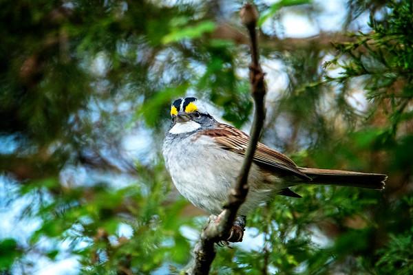 4.16.19 - Prairie Creek Campground: White-Throated Sparrow