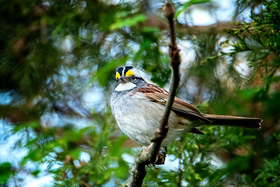 4.16.19 - Prairie Creek Campground: White-Throated Sparrow