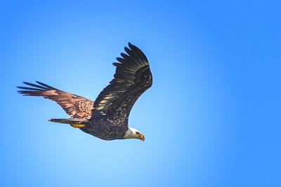 5.12.19 - Rocky Branch Park, Beaver Lake: American Bald Eagle