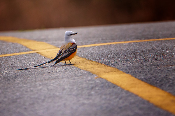 4.11.19 - Prairie Creek Marina: Scissor-tailed Flycatcher