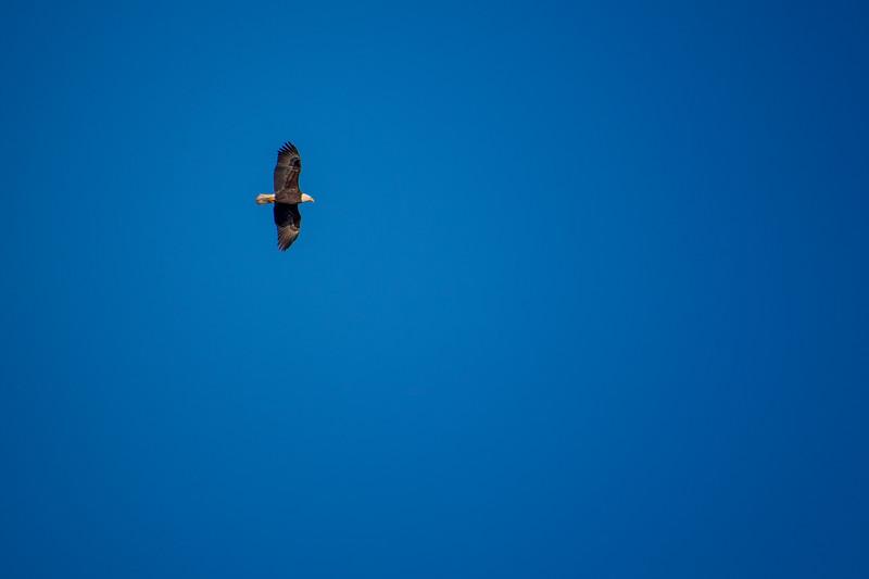11.10.19 - Madison County: American Bald Eagle