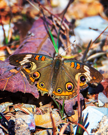 11.10.19 - Teakettle Falls Trail: Common Buckeye a little battered but full of color.