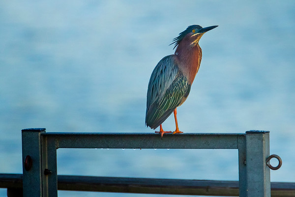 5.16.19 - Prairie Creek Marina: Green Heron