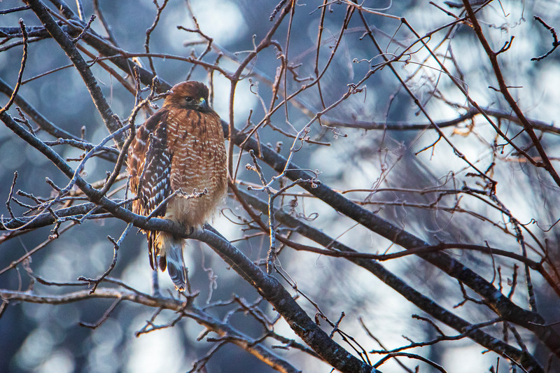 12.18.19 - Prairie Creek Park: Red-Shouldered Hawk