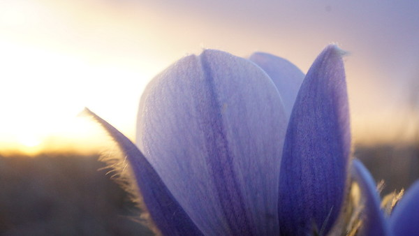 Prairie Crocus in Bloom