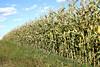 Grain corn on Olsufka's land.