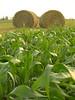 Round hay bales beside a corn field