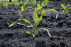Seedling corn at a research trial