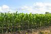 Corn field, southern Manitoba