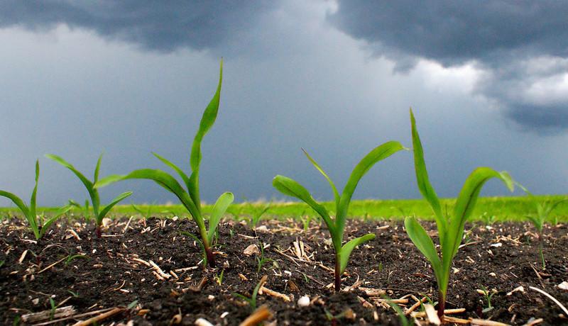 Seedling corn under a very threatening May sky