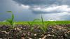 Seedling corn under a very threatening sky