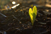 First light - corn seedling fresh from the seed
