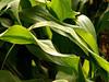 Green vigor
