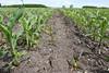 Closeup of freshly-killed weeds in corn rows