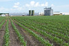 Corn at spray stage beside a Hutterite colony