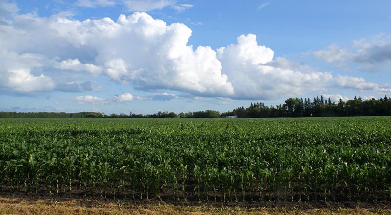 Corn field in July beside south of Bagot MB