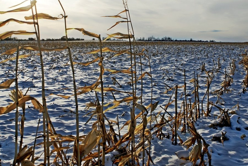 Winter corn stubble with snow, in Olsufka's field.