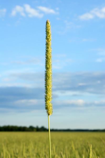 Pearl millet in July.