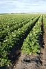 Potato field in mid-summer